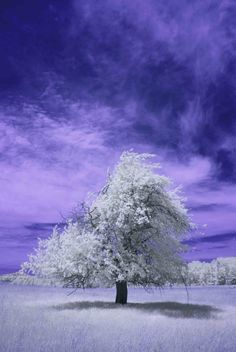 Fine Art Photography  Tree Infrared Blue White by craigseaver, $24.95