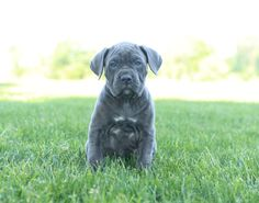 Happy Friday everyone!🤩🔅 These #Handsome #CaneCorsoItalianMastiff puppies are looking for a family who can handle their #ExuberantPersonality and love for playtime.⚾ #Charming #PinterestPuppies #PuppiesOfPinterest #Puppy #Puppies #Pups #Pup #Funloving #Sweet #PuppyLove #Cute #Cuddly #Adorable #ForTheLoveOfADog #MansBestFriend #Animals #Dog #Pet #Pets #ChildrenFriendly #PuppyandChildren #ChildandPuppy #LancasterPuppies www.LancasterPuppies.com Italian Mastiff Puppies, Cane Corso Italian Mastiff, Happy Puppy, Puppy Love, Sheepadoodle Puppy, Chihuahua Names, Cane Corso Puppies, Lancaster Puppies, Good Buddy