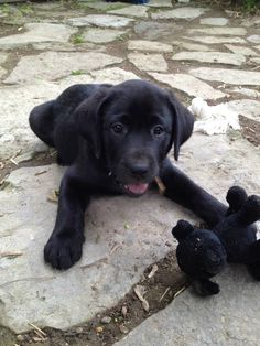 Female black lab puppy. Pretty much the best.