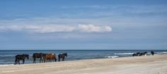 "Colonial Spanish mustangs roam the beaches near Corolla, NC.    Photo by Eve Turek. ""Sizing Up The Day"""