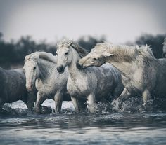 White Camargue horses, France
