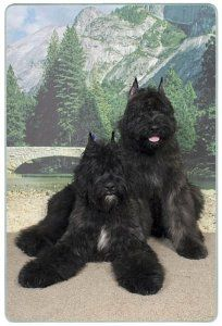 """Bouvier des Flanders Cutting Board by Canine Designs. $29.95. Hygenic and easy to clean.. Size: 8"""" x 11"""". Made of tempered glass making it virtually unbreakable.. Scratch Resistant - imprinted on back. Heat resistant.. Our beautiful, dog breed cutting boards will enhance any kitchen. They make great gifts, are made of tempered glass and measure 9"""" x 12"""". They are heat resistant, scratch resistant, virtually unbreakable, easily cleaned and dishwasher safe."""