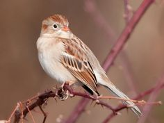 Adult Field Sparrow