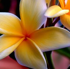 plumeria,what a heavenly scent!