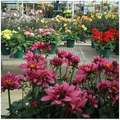 Dahlias - Skagway, Alaska has some of the most beautiful Dahlias. After seeing them, gonna try them myself this summer !