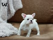 The tiniest little French bulldog!