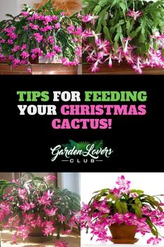 garden care yards In this guide we cover some of the best ways to feed your Christmas Cactus for Maximum Blooms! Garden Care, Diy Garden, Cacti Garden, Garden Tips, Garden Landscaping, Begonia, Planting Succulents, Planting Flowers, Succulent Planters