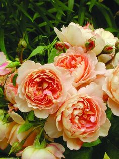 A Rose Is A Rose: Carding Mill David Austin Rose. pink, apricot and yellow shades with a delicious myrrh scent.