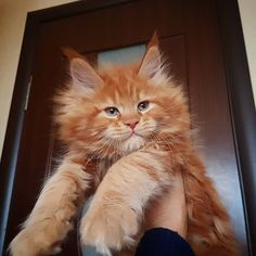 Maine Coon Temperament (Are They Friendly? Cute Kittens, Cats And Kittens, Ragdoll Kittens, Bengal Cats, Pretty Cats, Beautiful Cats, I Love Cats, Cool Cats, Maine Coon Kittens