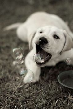 Reminds me of Rosie and how she would eat the bubbles! Only difference is Rosie was older and a black lab :)