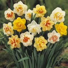 Our best selling Double Daffodil Bulbs in one perfect mix! Plant the mixed colors collection double daffodil bulbs in fall for mid-spring bloom. Daffodil Bulbs, Bulb Flowers, Love Flowers, Daffodils, Beautiful Flowers, Spring Bulbs, Spring Blooms, Spring Flowers, Garden Bulbs