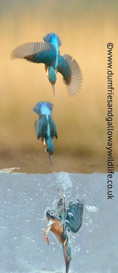 Kingfishers above and below the water.