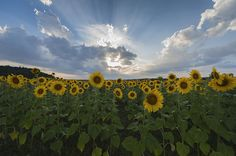 Sunflower Rays Augusta NJ by Terry DeLuco Art Prints For Sale, Fine Art Prints, Canvas Prints, Art Sites, Fine Art America, Wall Art, World, Artist, Photography