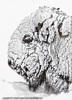 Bison Portrait in snow - Bison head covered in snow, Swan Flats, Yellowstone National Park, minus waist deep snow. Photography Tours, Wildlife Photography, Animal Photography, Beautiful Creatures, Animals Beautiful, Cute Animals, Beautiful Horses, Baby Animals, American Bison