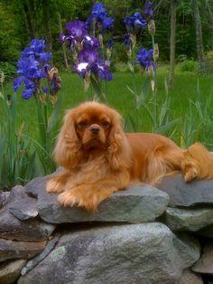 Cavalier in the garden