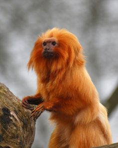 Golden lion tamarin Tamarin Lion Doré, Golden Lion Tamarin, Golden Lions, Primates, Mammals, Beautiful Creatures, Animals Beautiful, Cute Animals, Types Of Monkeys