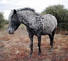 Miniature Spotted Horse ~ cool color! ~ Colourdale Fleur-de-ley.