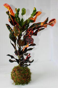 kokedama mediana con Croton. Una de las kokedamas mas coloridas #kokedamas #leavesdesign