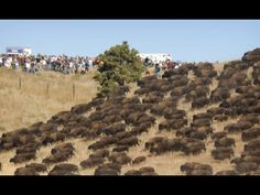 BUFFALO STILL ROAMING. HONOR THE TREATY!!!Standing Rock: Thousands of Wild Buffalo Appear Out of Nowhere