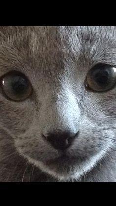 Russian Blue - Vladimir Gray Cats, Blue Cats, Kitty Kitty, Hello Kitty, Russian Blue Kitten, Cat Pin, Cat Boarding, Crazy Cat Lady, Beautiful Cats