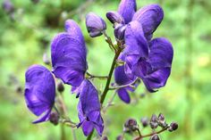 Aconitum napellus is the species name sake. During the ancient Roman period of European history, the plant was often used to eliminate criminals and enemies. By the end of the period it was banned and anyone growing A. napellus could have been legally sentenced to death! Expect violet-blue flowers and some self-seeding compared to specific cultivars from the species!