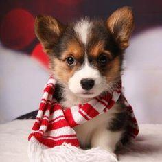 Corgi puppy!   ...........click here to find out more     http://googydog.com