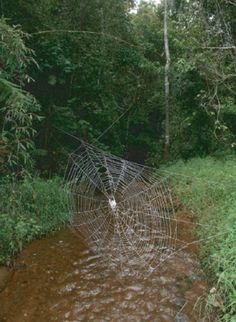 web over stream - Darwin Bark spider