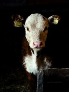Such a beautiful Creature. The number he wears in his ear like a animal holocaust tells when he will become your dinner. Go VEGAN!!!