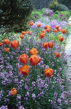 200516 - 02 Tulip 'Dillenburg' growing through Erysimum linifolium in the barn garden at Great Dixter
