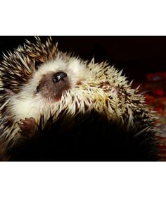 12 Alternative Pets - African pygmy hedgehogs