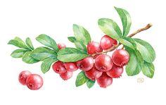 Sketching, drawing: graphic design, watercolor berries, cranberries, fruit