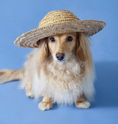 Honey in a hat by Doxieone, via Flickr