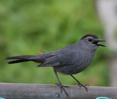 Man that cat bird can sing Pewter Color, Pretty Birds, Say Hello, My Eyes, Iowa, Cats, Grey, Funny Things, Animals