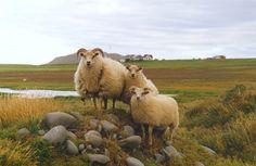 Icelandic ewe and twins