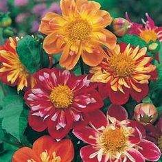 Dahlia Harlequin Mix. Semi-double flowers with collars of shorter white or yellow petals. Annual flowers