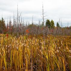 #ADK #Adirondacks #RaquetteLake - Cattails near Raquette Lake - Along highway 28 near Raquette Lake, New York.