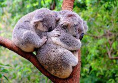 koala love <3