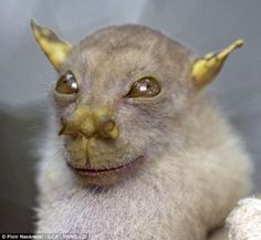 The Dragon Tube-nosed Fruit Bat is a species of megabat in the Pteropodidae family. It is found in West Papua, Indonesia and Papua New Guinea. In other words it is endemic to the Island of New Guinea.