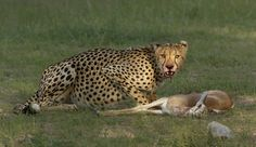 Kruger-cheetah and lion with kill-Charmaine Last Minute, Cheetah, Kangaroo, Brave, Lion, Animals, Leo, Animales, Animaux