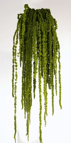 GREEN HANGING AMARANTHUS    Hanging Amaranthus flowers have a fantastic dripping look that will add a whole new element to your displays. Drape Hanging Amaranthus from branches, over the side of a vase or anywhere you'll be able to showcase its unique form. One bundle shown.    18-24"