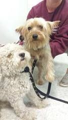 LONG SILAND DO YOU KNOW THESE DOGS  Listing ID #: 14-1449 Breed: Yorkie Animal: LOSTnFOUND Color: Grey/Tan Gender: Male Age: Adult Spayed / Neutered: No  Office: Brookhaven Animal Shelter Location: 300 Horseblock Road Brookhaven, NY 11719