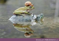 snail, frog and turtle Cute Little Animals, Baby Animals, Funny Animals, Frog Pictures, Animal Pictures, Pet Frogs, Frog Art, Frog And Toad, Amphibians