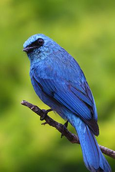 Verditer Flycatcher, male by kampang*