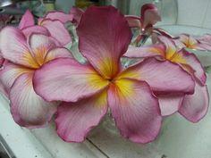 "Plumeria ""nancy"" flower 6"""