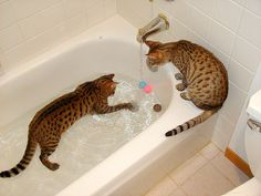 Bengal cats; this is what I need, a cat who wouldn't mind the water (for bath time).