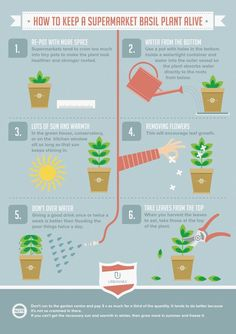 Infographic about how to take care of a basil plant alive. | ayapics