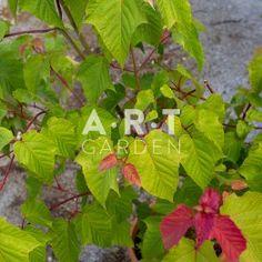 Erable du japon Acer conspicuum Mozart pectinatum Mozart