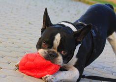 Dreaming of xmas holiday. Romeo #bulldog #frenchbull #ilovemydog #bully #bullylife #lovebully #lovebulls #loveyou #iloveyoubull #frenchbulldog #frenchbulldog #frenchie #ilovehim