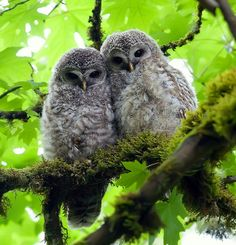 Barred Owl Chicks