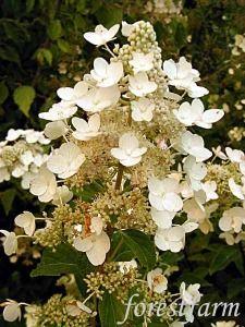 Hydrangea paniculata Unique  - Pee Gee Hydrangea  - Flower